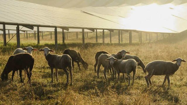 A group of sheep in front of a solar plant